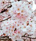 咲桜いちか
